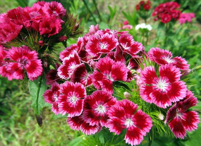Цветы гвоздики. фото