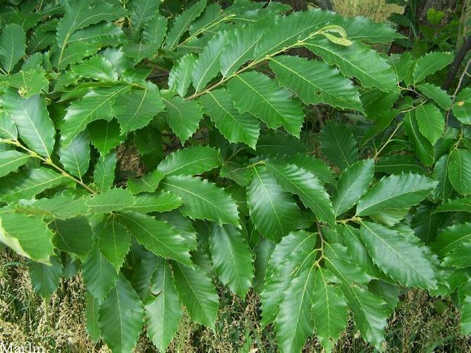 Листья каштана имеют уникальную форму, очень красивые