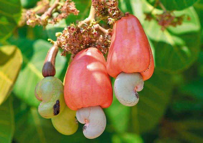 Как правильно выращивать дерево кешью
