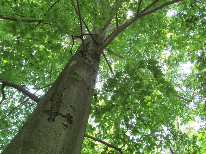 Фото, подробное описание и свойства дерева
