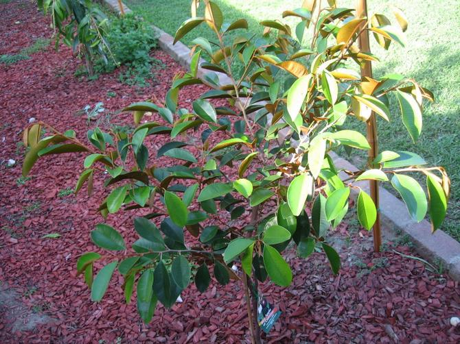 Для дерева благоприятен жаркий климат, она не выдерживает низких температур