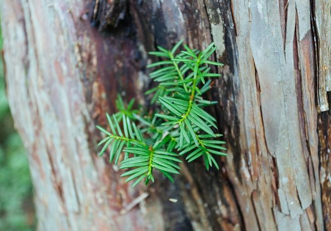 Древесину (отлично поддающуюся полировке) остроконечного тиса ценят высоко