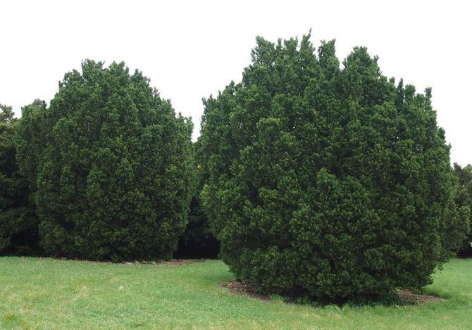 Остроконечный тис - хвойное вечнозеленое дерево, принадлежит к семейству тисов