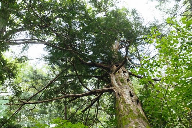 В дикой среде больших образцов мало: они вырастают максимум на 6 метров