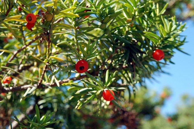 Чуть сладкий по вкусу съедобный присемянник (мясистый, ярко-красного цвета) бывает, называют по ошибке ягодой