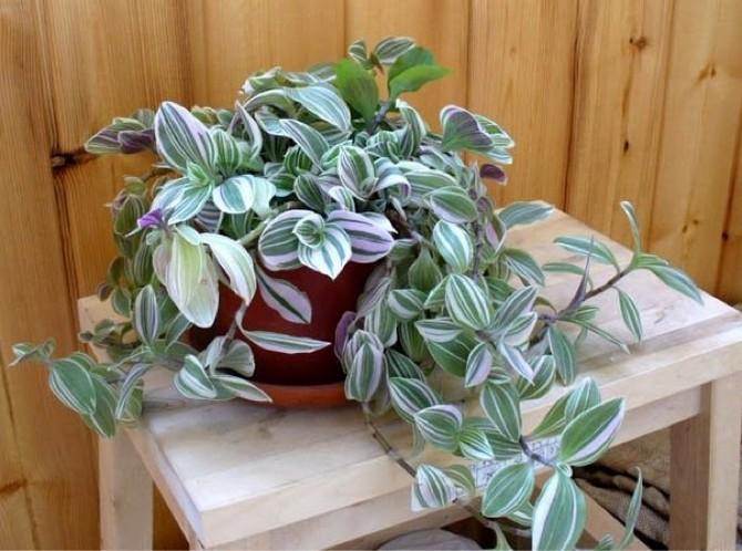 Советы и рекомендации по содержанию растения традесканции дома