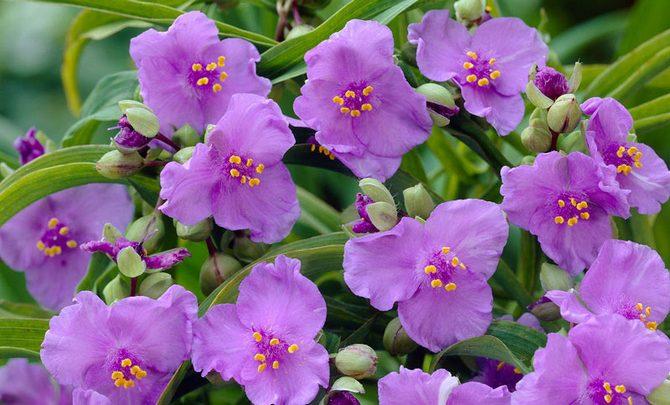 Встречаются различные гибриды традесканции с разными окрасками цветов
