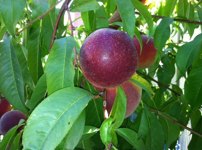 Описание фрукта звездное яблоко