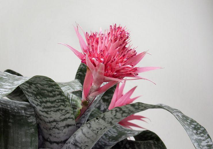 Растение эхмея