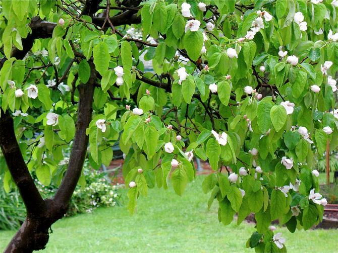 Как цветет и пахнет айва
