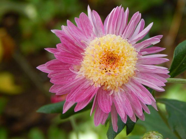 Хризантема анемоновидная