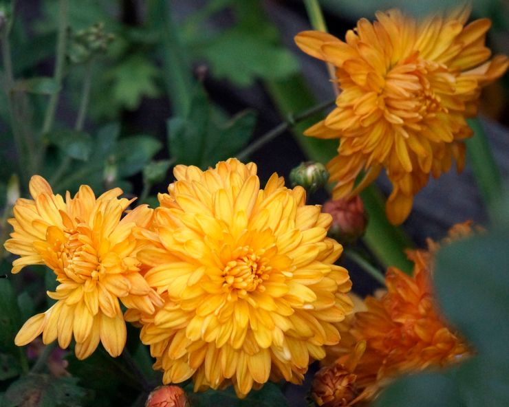 Хризантема Апельсин