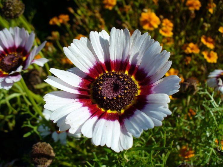 Хризантема килеватая, либо трёхцветная