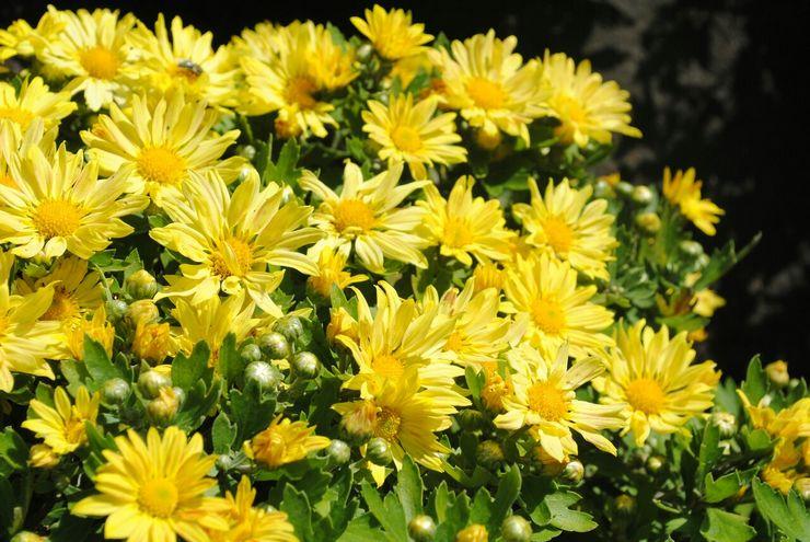 Хризантема мелкоцветковая, либо корейская