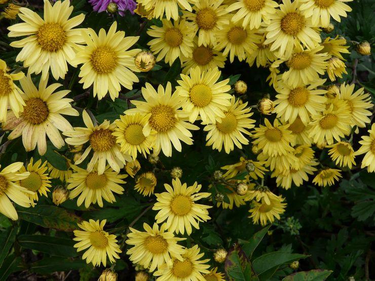 Хризантема полевая, либо посевная