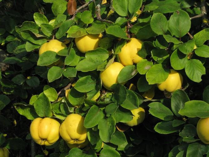 Дерево айва. Описание фрукта айва. Цветение кустарника айвы на фото