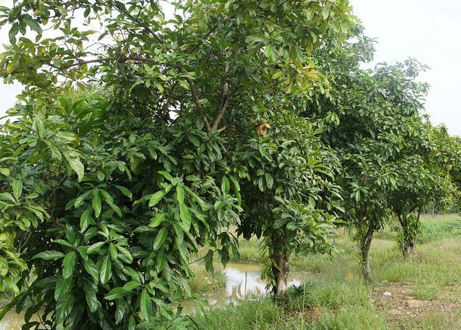 Где растет дерево кока-кола заостренная