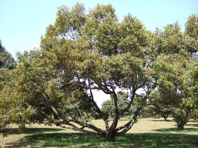 Где и в каких условиях растет дерево дуриан