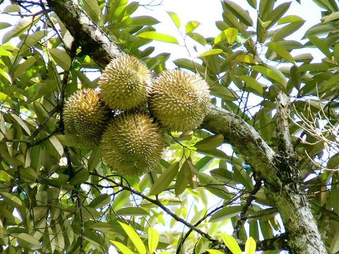 Дуриан цибетиновый – высокое тропическое дерево, достигающее 40-45 м в высоту