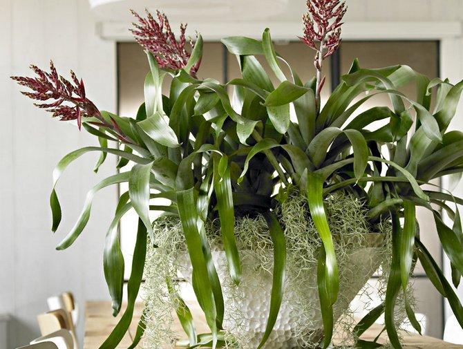 Размножение и посадка бромилеевого растения