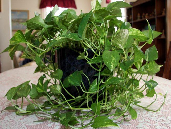 Как правильно выращивать филодендрон лазящий в квартире
