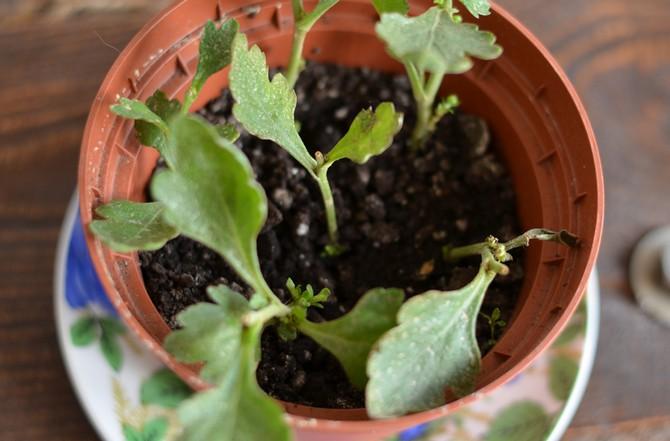 С помощью прищипывания формируются кустовые растения
