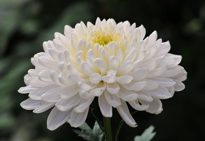 Хризантемы. Уход за цветами хризантемы