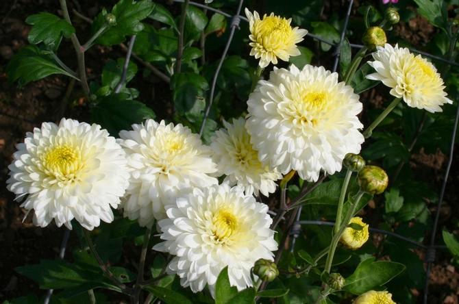 Уход за хризантемами