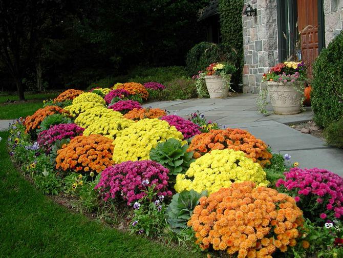 Выращивание хризантемы в саду