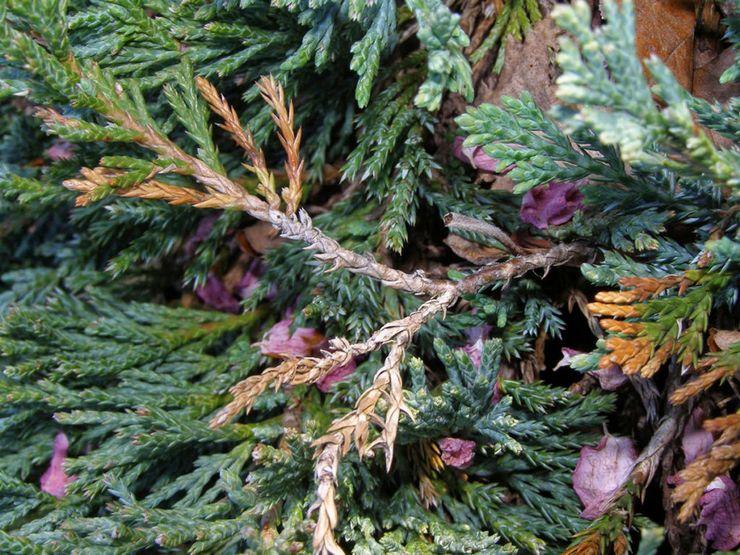 Вредители и болезни можжевельника скального