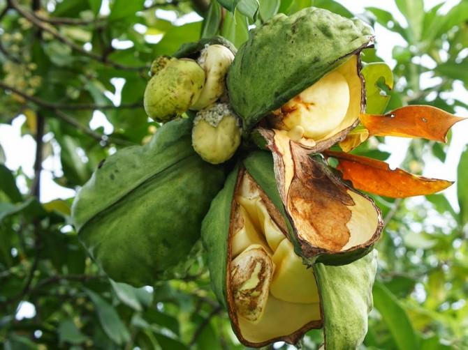 Дерево кока-кола заостренное. Фото и описание растения