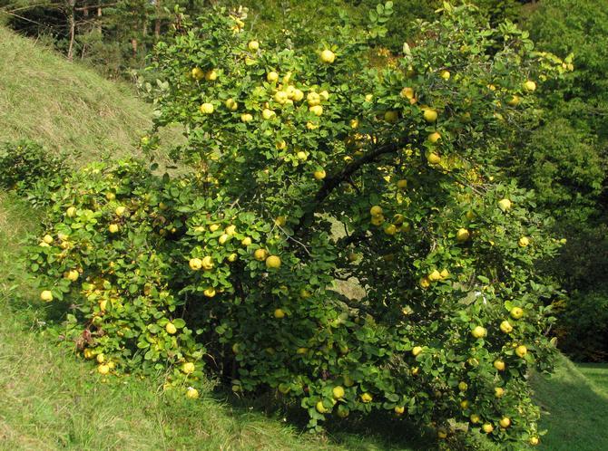 Общее описание дерева айва