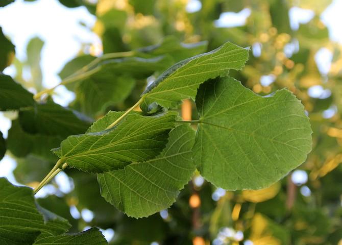 Листья своеобразной формы, в виде сердца с разными боками и заострением вверху