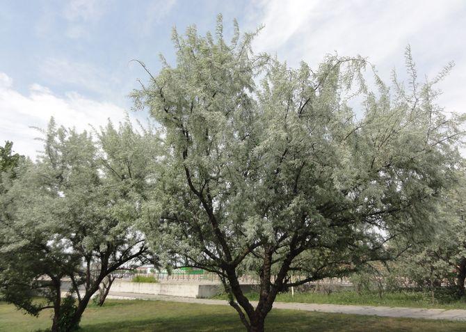 Дерево лох узколистный. Фото, посадка и уход, плоды. Дерево русская олива