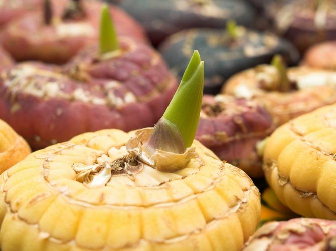 Когда выкапывать луковицы гладиолусов и как их хранить