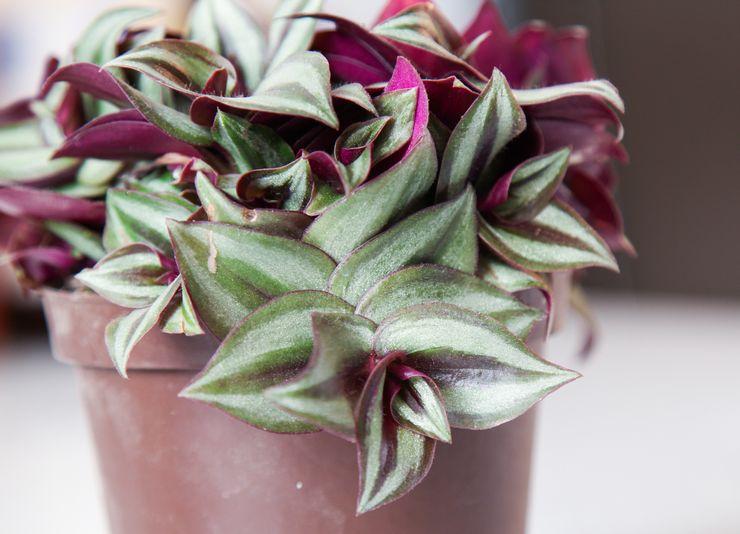 Растение традесканция