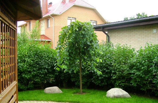 Вяз шероховатый очень хорошо подходит для озеленения городских мест