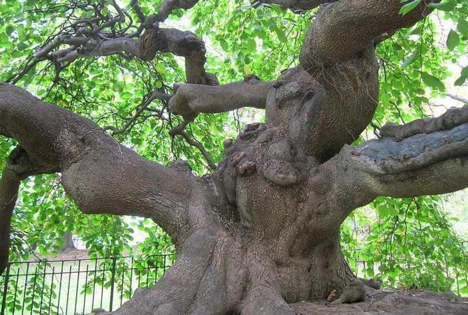 Растение обладает прочной древесиной, достаточно упругой и долговечной