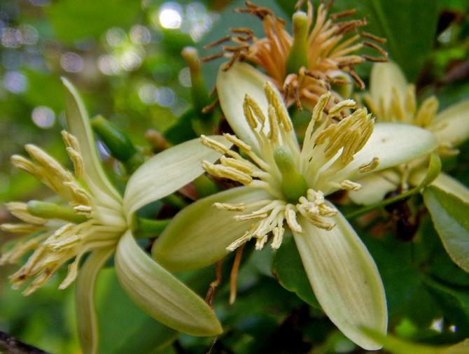 Цветы баиля зелено-желтые с множеством желтых тычинок