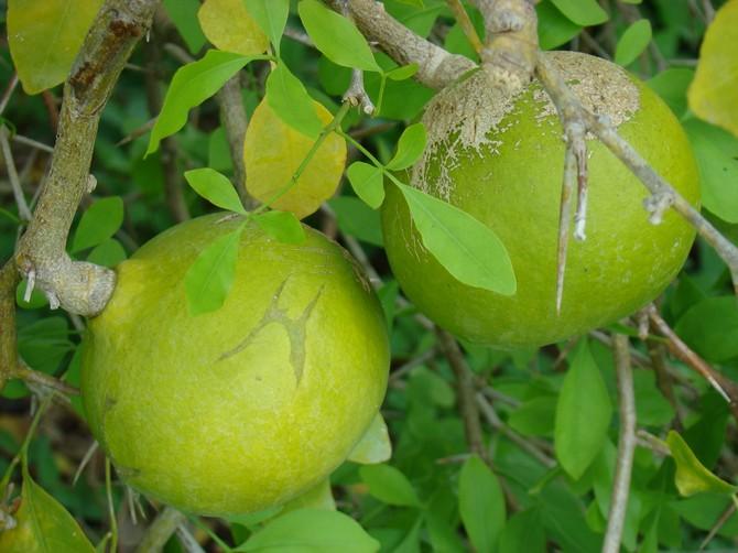 Баиль матум или айва бенгальская фруктовое дерево из Индии