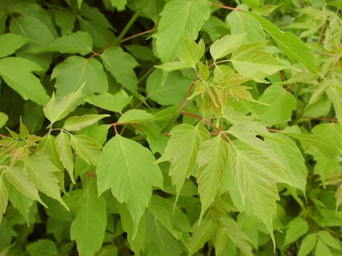Листья сложные, непарноперистые, черешковые