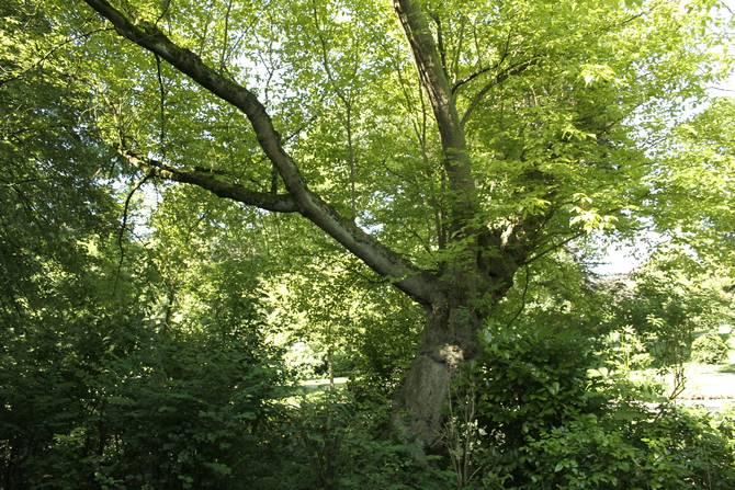 Он короткий, ветвистый, часто искривленный. Ветви очень хрупкие