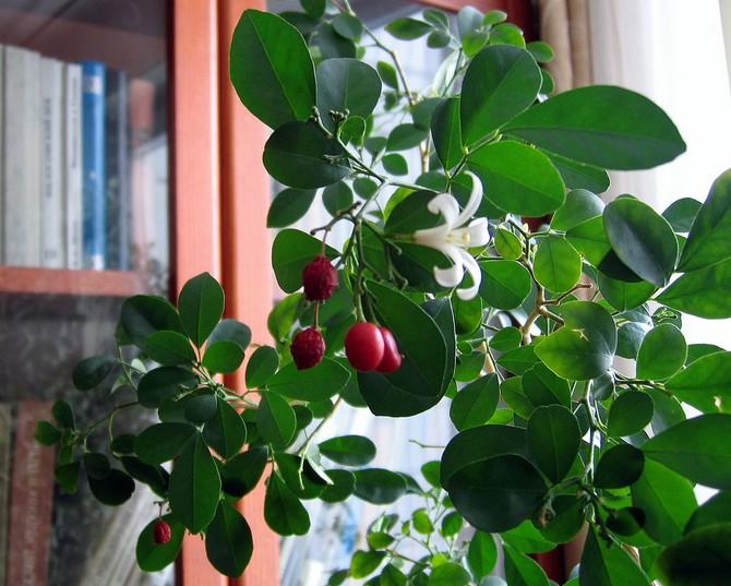 Муррайя нуждается в повышенной влажности воздуха, поэтому цветку необходимо ежедневное опрыскивание.