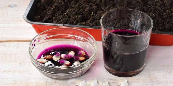 полчаса подержать семена в марганцевом растворе розового цвета