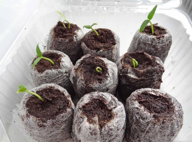 Для семени создаются искусственные условия зимы