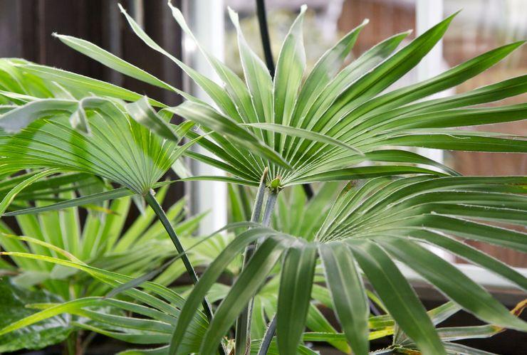 Растение трахикарпус