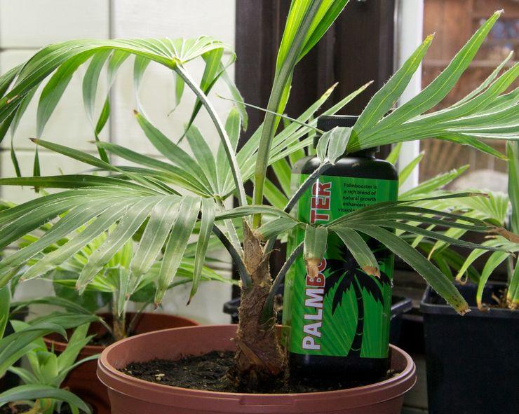 Выращивание трахикарпуса