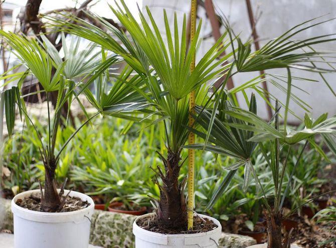 Как правильно ухаживать за пальмой трахикарпусом