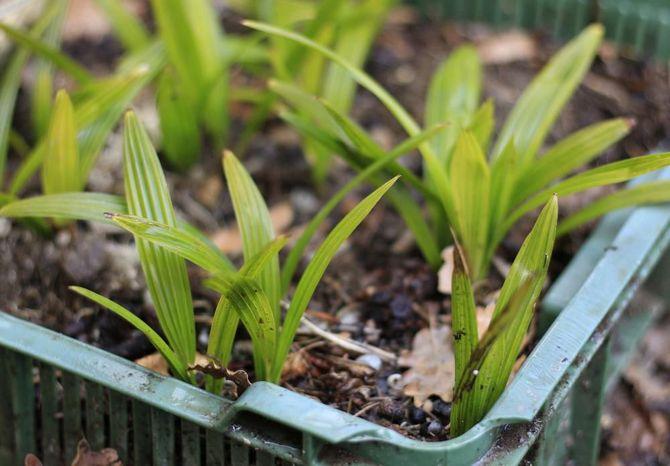 Трахикарпус лучше размножается вегетативно – отводками