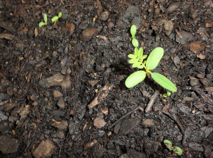 Выращивание маргариток из семян